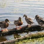 """Ducks on a Log"" by naturephotos"