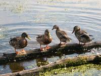 Ducks on a Log