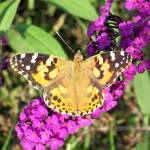 """Butterfly"" by ghardesty"