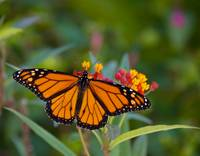 Monarch and Milkweed
