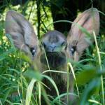 """""""Moose Baby"""" by lancehankins"""