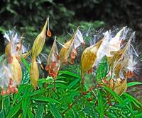 Milkweed Seed Launch