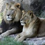 """LionColor"" by scottcoleson"