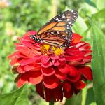 """Monarch on a Zinnia"" by FordLou"