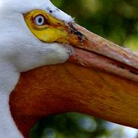 The eye of the pelican