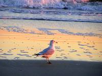 Sunset Gull 3
