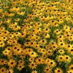 """Flower Field"" by naturephotos"