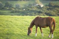 Horse in field in county Wexford, Ireland.
