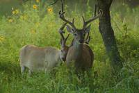 Deer at Dusk - Big and Little Brother