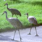 """Sandhill Crane Family"" by rayjacque"