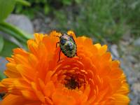 Shield bug on orange