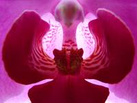 Purple Orchid series