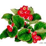 """begonia"" by NorikoF"