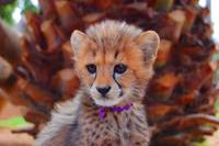 Cute baby cheetah