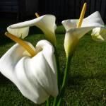 """Calla Lily series"" by FlowerShotsbyZaralee"