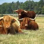 """Highland Cattle Posse"" by shortwork"