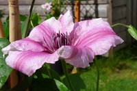 Clematis series(3)
