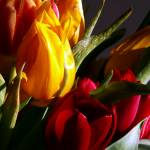 """tulips"" by phototes"
