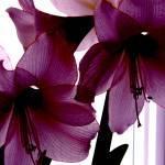 """""""amarylis"""" by phototes"""
