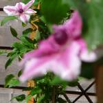 """Depth of Field, Clematis series"" by FlowerShotsbyZaralee"