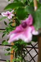 Depth of Field, Clematis series