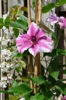 Clematis series(4)