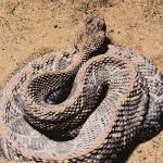 """Aruba Island Rattlesnake"" by smayer"
