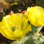 """Yellow Prickly Pear Cactus Flower"" by MyHartArt"