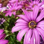 """Purple Flower"" by MyHartArt"