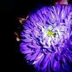 """""""Purple Mum Flower"""" by MyHartArt"""