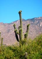 Saguaro with Catalina Mountains