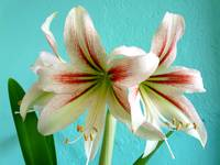My Sweet Amaryllis