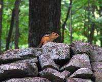 Chipmunk on Rock Wall