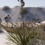 """Soaptree Yucca"" by desertpenguinphotos"