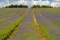 English Lavender Field