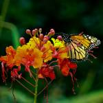 """Monarch Butterfly on Pride of Barbados Bloom"" by awsheffield"