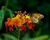 Monarch Butterfly on Pride of Barbados Bloom