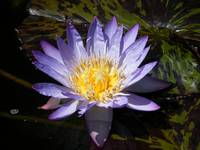 Water Lily 'Star of Siam'