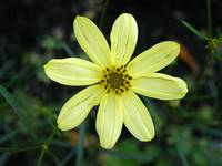 Coreopsis Moonbeam