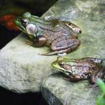 """Two Frogs"" by naturephotos"