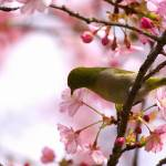 """""White-eye"" loves Sakura"" by joka2000"