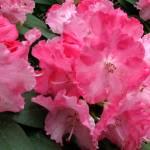 """Pink Spring"" by bettymackey"