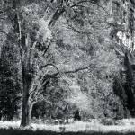 """Oak tree, Yosemite National park, CA"" by IanGuerraphotography"