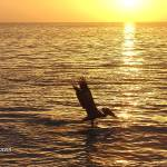 """Pelican & Sunset in Florida, April 2008"" by photographybyROEVER"