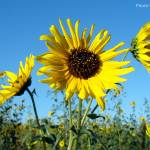 """Sunflowers, 16 Sept 2008 (1)"" by photographybyROEVER"