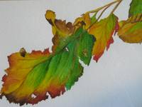 Hazel leaves in Autumn