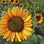 """sunny flowers!"" by mandalaworld"