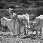 """goats"" by AdamLerner"