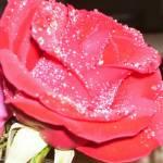"""Rose"" by kellygreene2005"