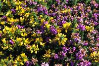 Heather & Gorse